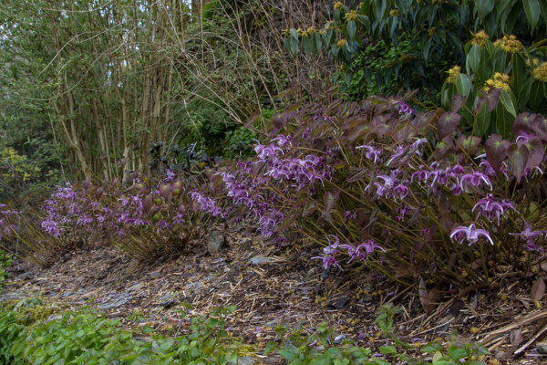 Epimedium 'Lilac Cascade'