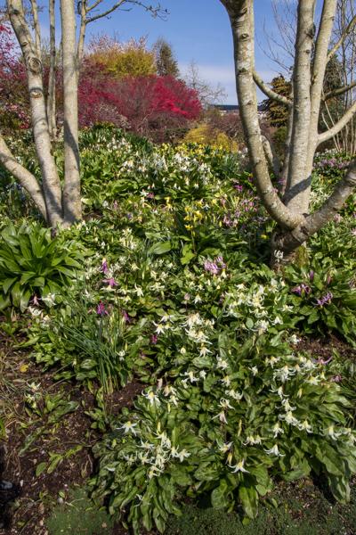 Erythronium, Wilside Nursery Garden, Devon