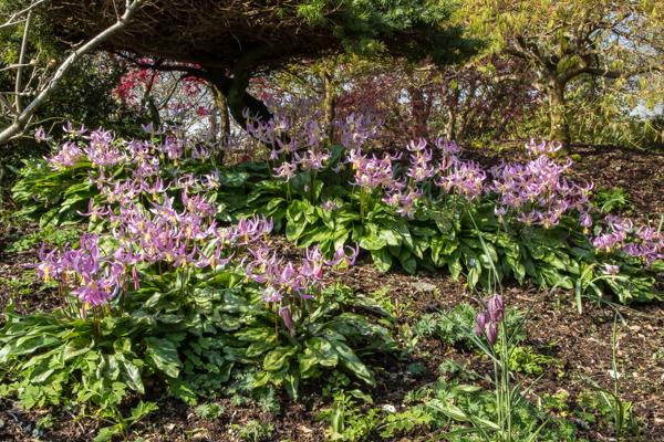 Erythronium 'Janice' at Wildside Nursery Garden, Devon