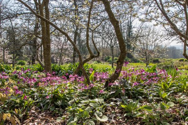 Erythronium revolutum & Magnolia stellata, Wildside Garden Nursery, Devon