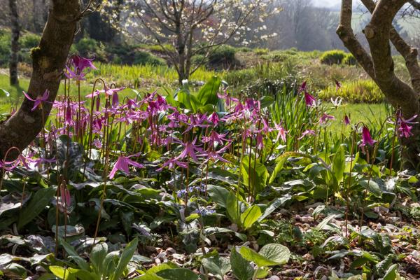 Erythronium revolutum 'Knightshayes' & Magnolia stellata