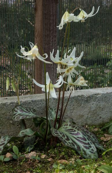 Erythronium seedlings