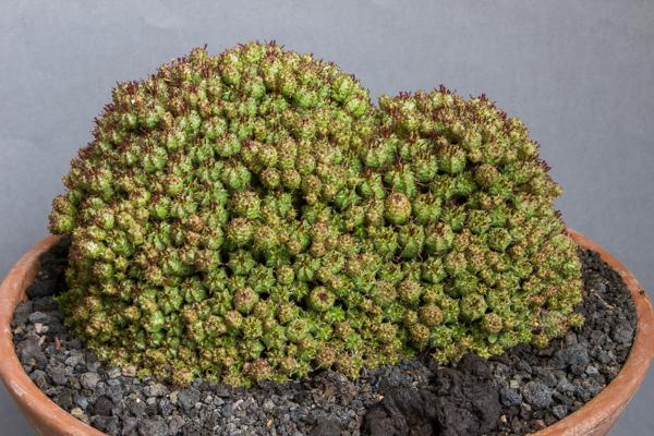 Euphorbia multiprolifera (Exhibitor: David Charlton)