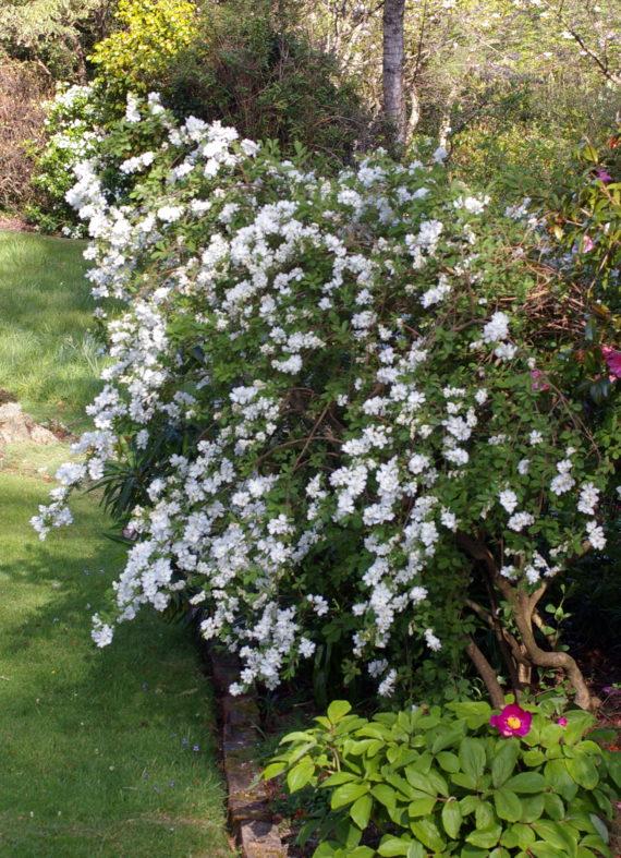 Exochorda x. giraldii 'The Bride' in north wales garden