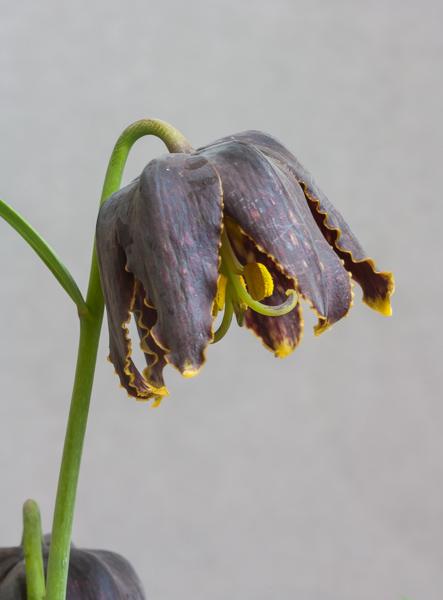 Fritillaria affinis var. tristulis (Exhibitor: Tony Hollingworth)