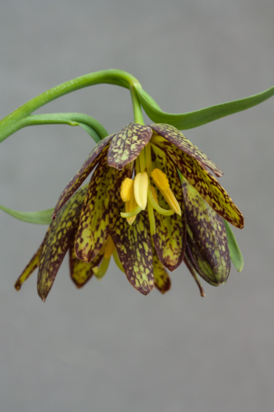 Fritillaria affinis (Exhibitor: Ian Robertson)