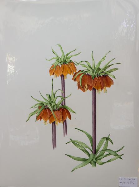 Fritillaria imperialis (Exhibitor: Rannveig Wallis) botanical art