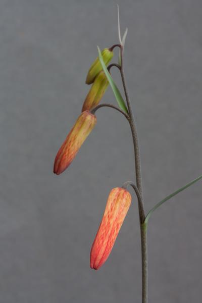 Fritillaria recurva (Exhibitor: Brian Burrow)