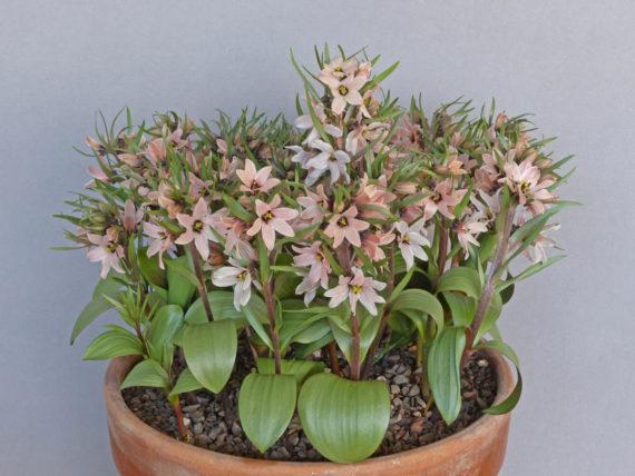 Best in Show: Fritillaria stenanthera (Exhibitor: George Elder)