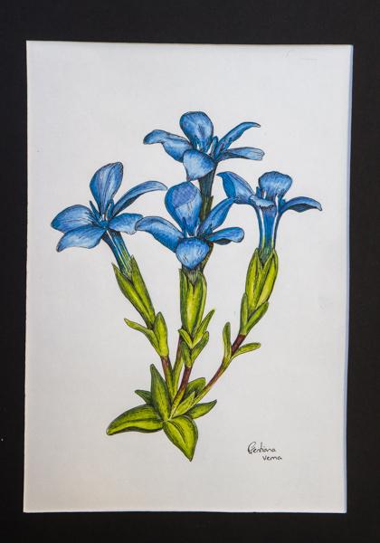 Gentiana verna (Exhibitor: Gemma Hayes) botanical art