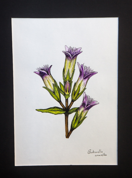 Gentianella amarella (Exhibitor: Gemma Hayes) botanical art