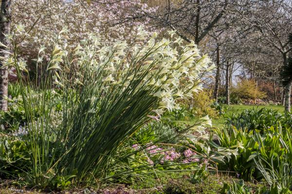 Gladiolus tristis at Wildside Garden Nursery, Devon