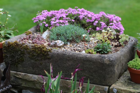 An alpine stone trough in our diarist's garden.