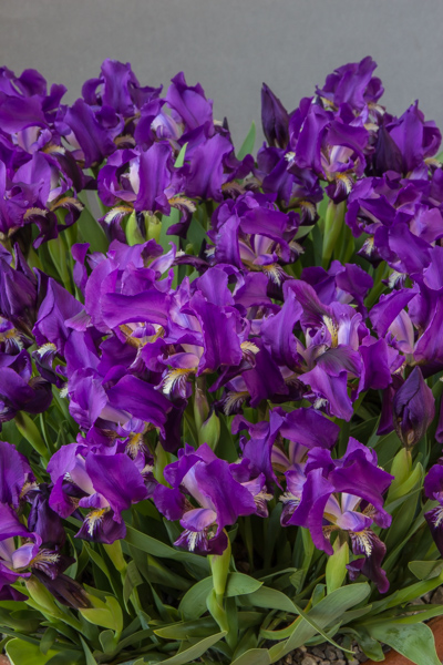 Iris babadagica (Exhibitor: Lee & Julie Martin)