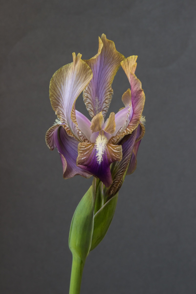 Iris lineata (Exhibitor: Bob Charman)