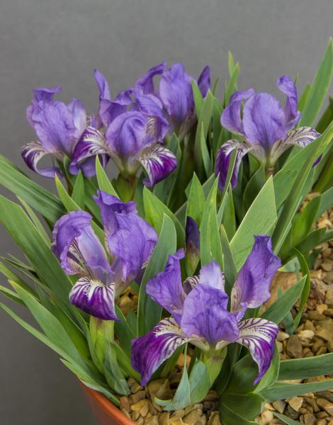 Iris lutescens (Exhibitor: Andrew Ward)