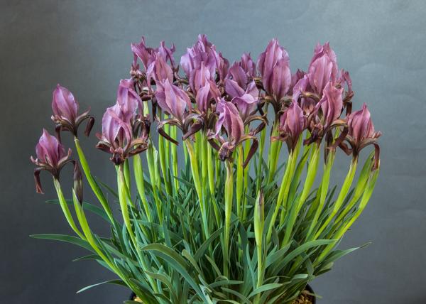Iris pumila subsp. attica x. acutiloba subsp. longitepala (Exhibitor: Ray Drew)