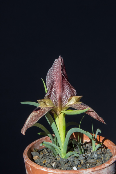 Iris sprengeri (Exhibitor: Bob & Rannveig Wallis)