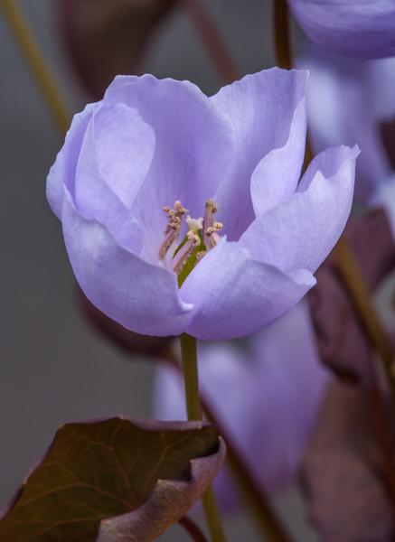 Jeffersonia dubia (Exhibitor: Bob Worsley)