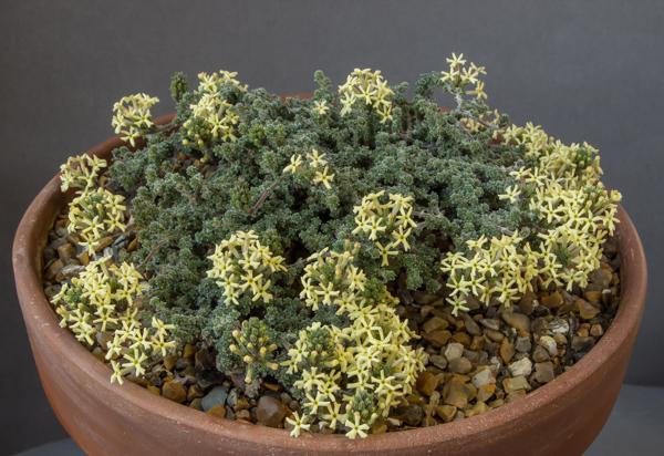 Junellia coralloides (Exhibitor: John Kemp)