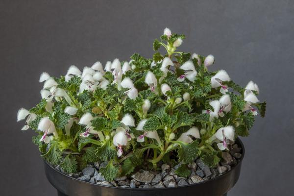 Lamium armenum (Exhibitor: Lee & Julie Martin)