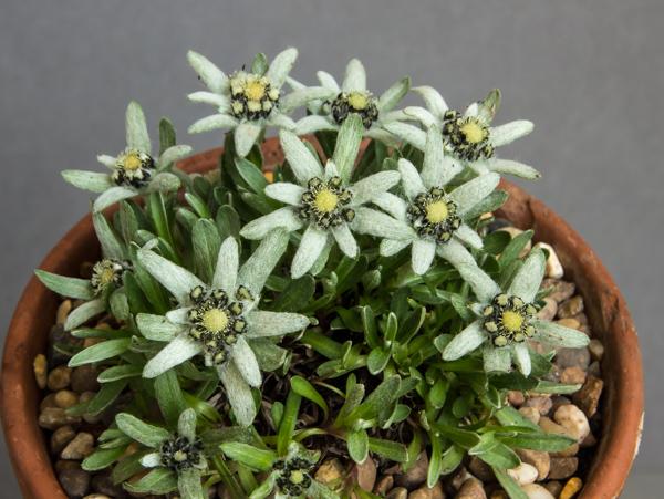 Leontopodium pusillum SAQE 79 (Exhibitor: Brenda Nickels)