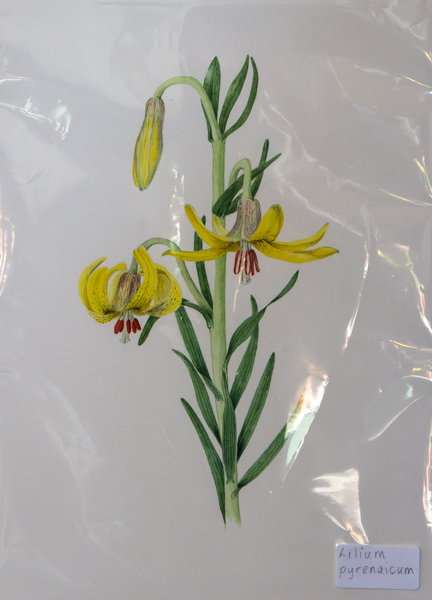 Lilium pyrenaicum (Exhibitor: Rannveig Wallis) botanical art
