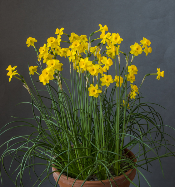 Narcissus 'More and More' (Exhibitor: Janine Doulton)