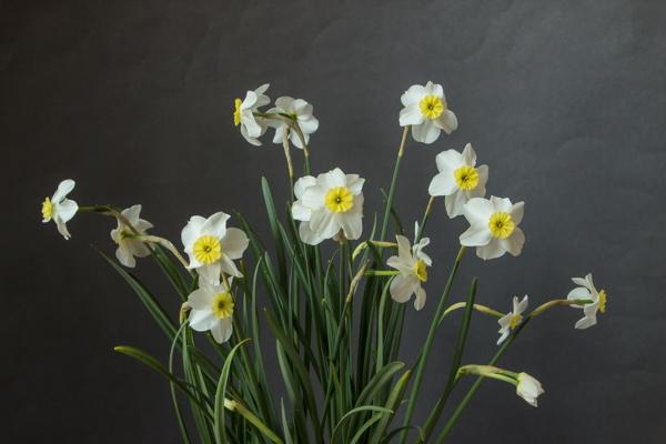 Narcissus 'Segovia' (Exhibitor: Ben & Paddy Parmee)