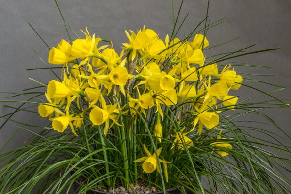 Narcissus 'Solveig's Song' (Exhibitor: George Elder)