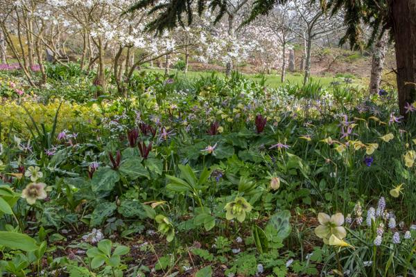 Narcissus bulbocodium citrinus, Wildside Garden Nursery, Devon