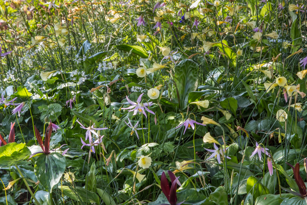 Narcissus bulbocodium citrinus & Erythronium revolutum, Wildside Garden Nursery, Devon