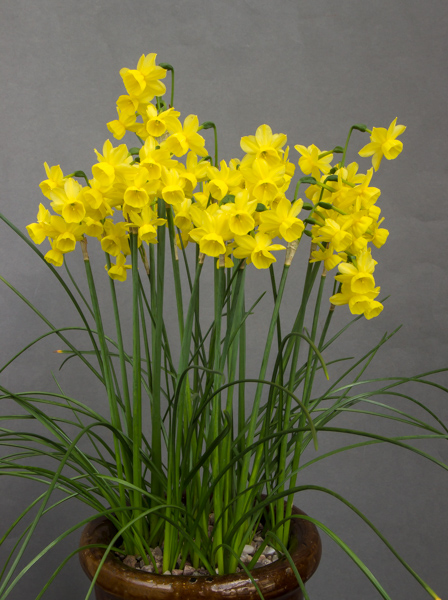 Narcissus jonquilla 'Little Sunray' (Exhibitor: Ben & Paddy Parmee)