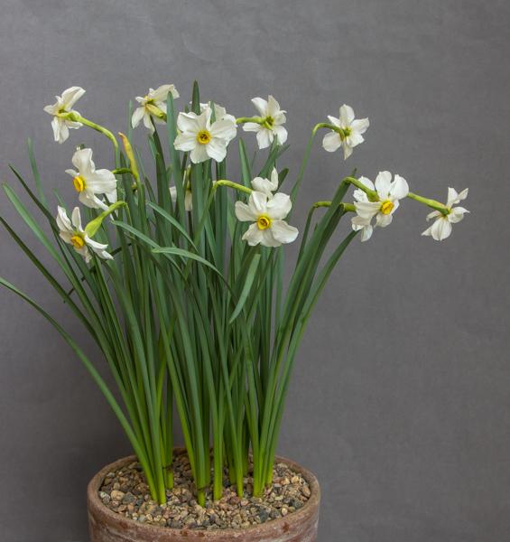 Narcissus poeticus subsp. radiiflorus (Exhibitor: Ian Robertson)