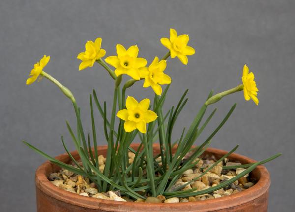 Narcissus rupicola (Exhibitor: Brian & Shelagh Smethurst)