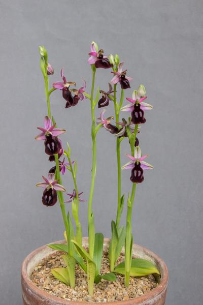 Ophrys ferrum equinum (Exhibitor: Steve Clements)