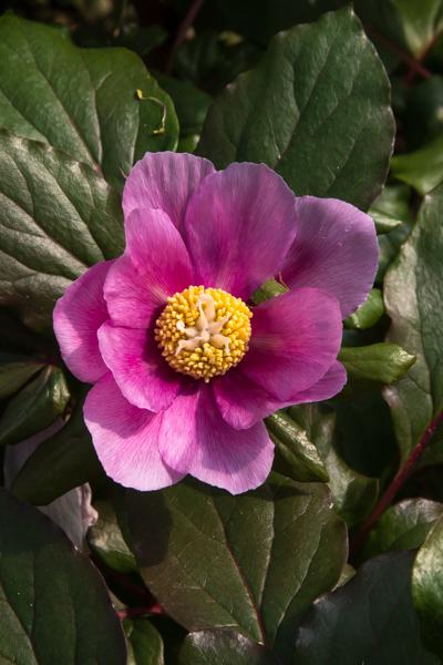 Paeonia, Wildside Nursery Garden, Devon