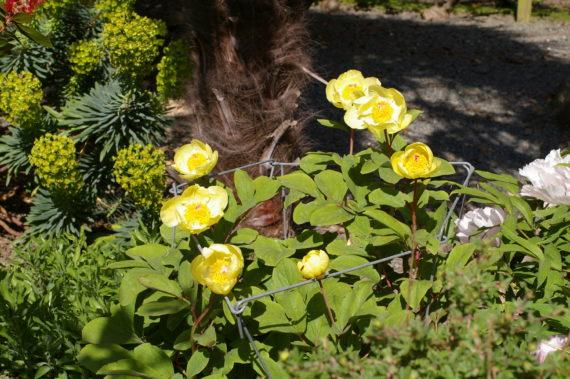 Paeonia mlokosewitschii in north wales garden