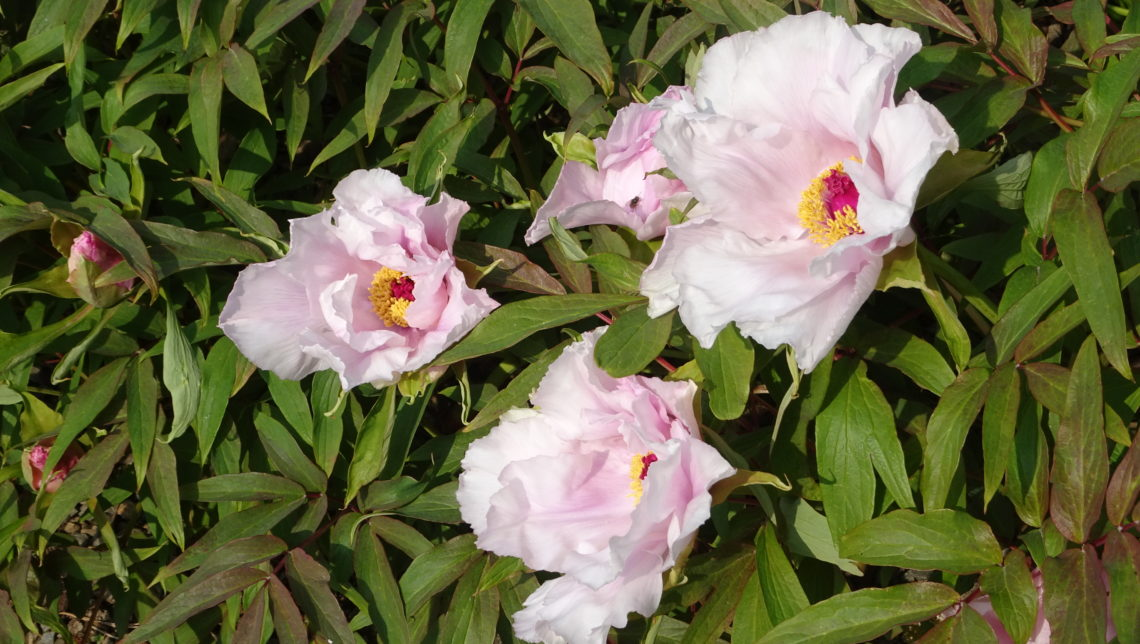 Paeonia ostii in north wales garden