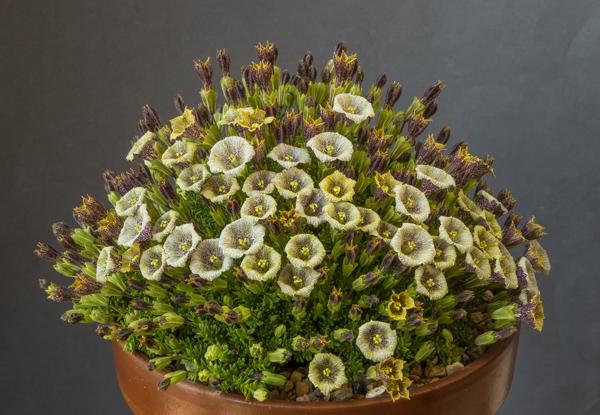 Petunia patagonica (Exhibitor: John Millen)