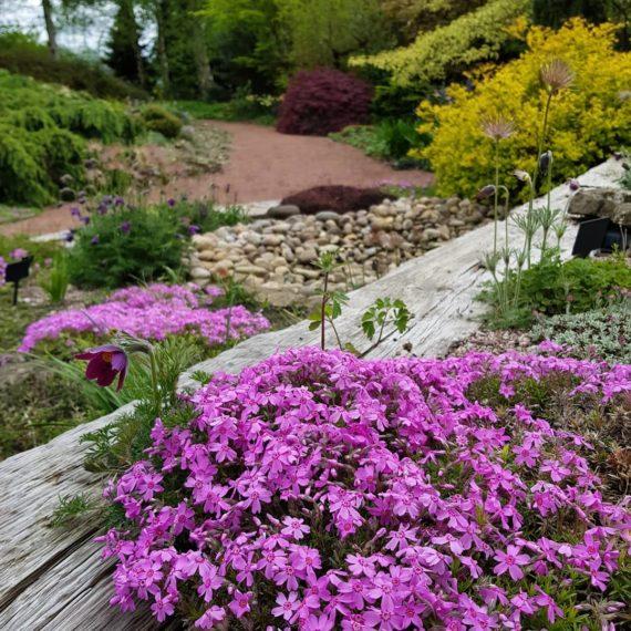 Phlox subulata in the alpine garden society pershore garden