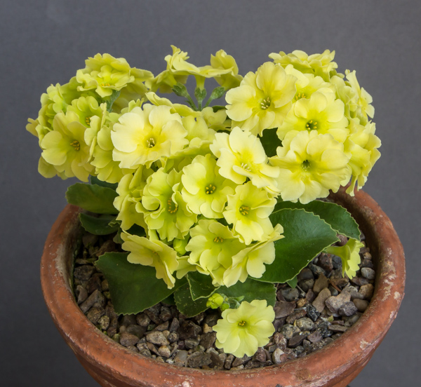 Primula hybrid 'Kirsty' (Exhibitor: Ian Kidman)