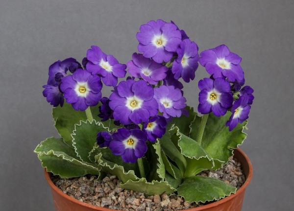 Primula hybrid 'Kusum Krishna' (Exhibitor: Diane Clement)