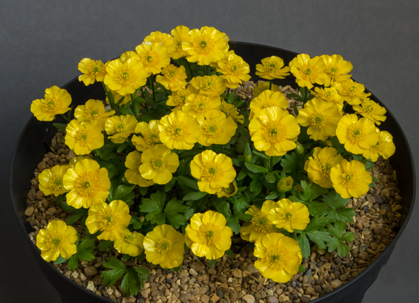 Ranunculus montanus (Exhibitor: Chris Lilley)