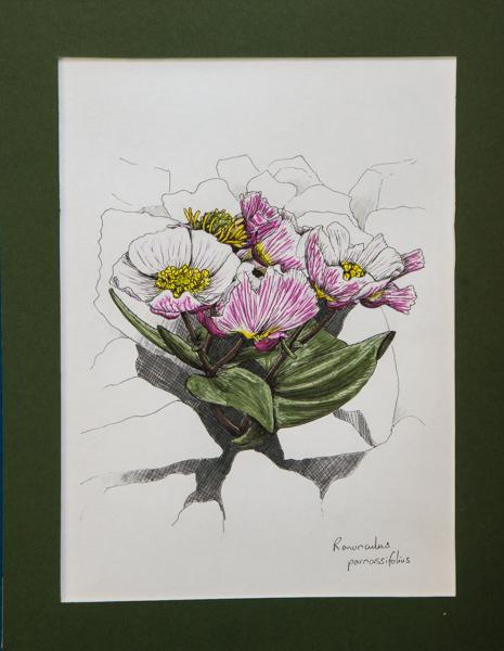 Ranunculus parnassifolius (Exhibitor: Gemma Hayes) botanical art