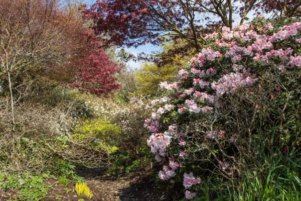 Rhododendrons at Wilside Garden Nursery, Devon