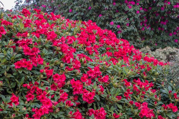 Rhododendron, The Garden House, Devon