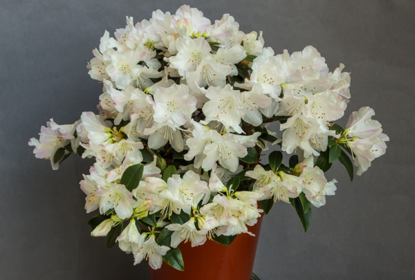 Rhododendron 'Silkeborg Silence' (Exhibitor: Diane Clement)