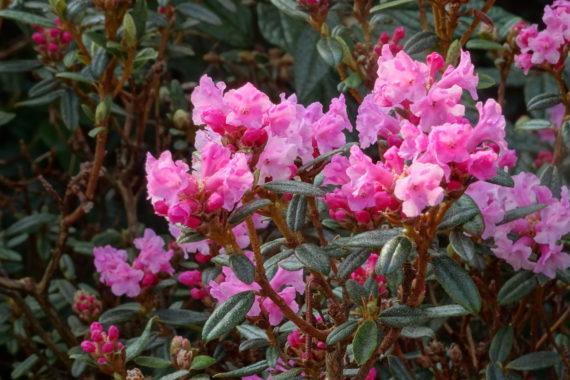 Rhododendron primuliflorum 'Doka La' in north wales garden