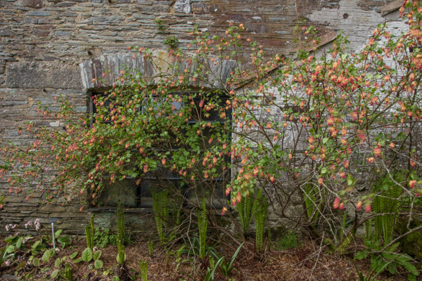 Ribes x beatonii